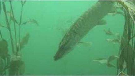 Barsche unter Wasser 1