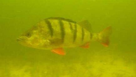 Basche aus Holland Unterwasser 1