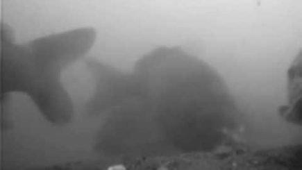 Karpfenköder Unterwasser 3