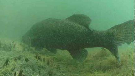 Unterwasser Zander im Baggersee 2