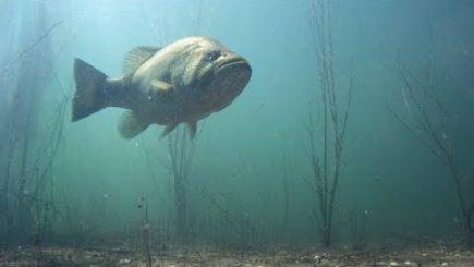 Largemouth Bass auf der Jagd 1