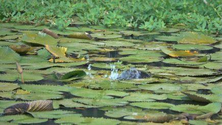 Topwater-Attacken auf Frösche 9